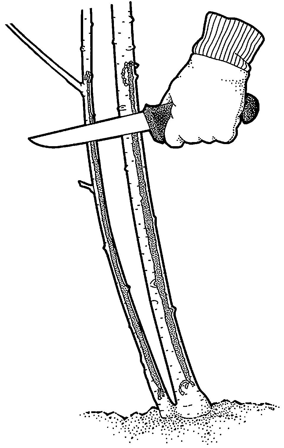 Using knife to scrape long gashes along stem