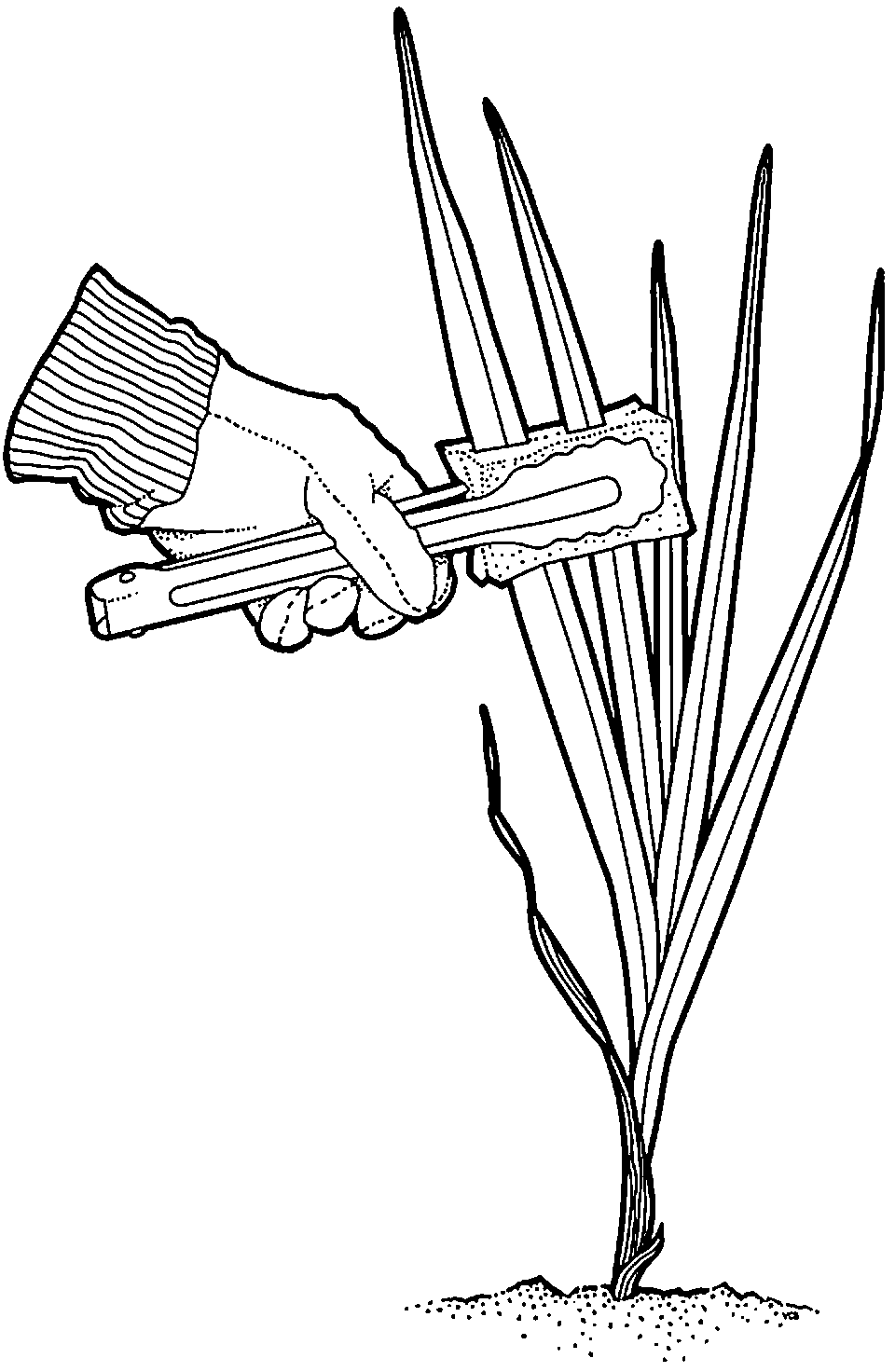 Using adapted tongs with sponge tips to swipe leaves with glyphosate